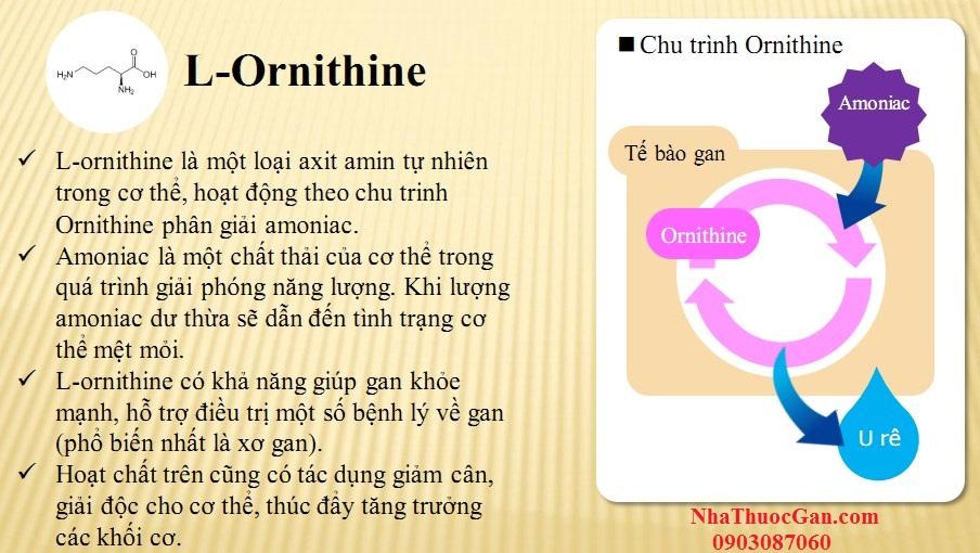 l ornithine la mot loai axit amin tu nhien trong co the hoat dong theo chu trinh ornithine phan giai amoniac