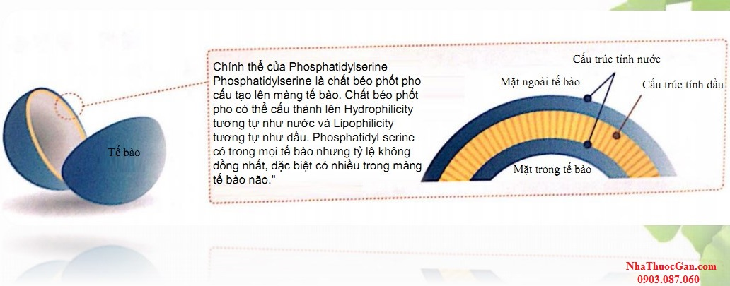 phosphatidylserine chat dinh duong cho nao