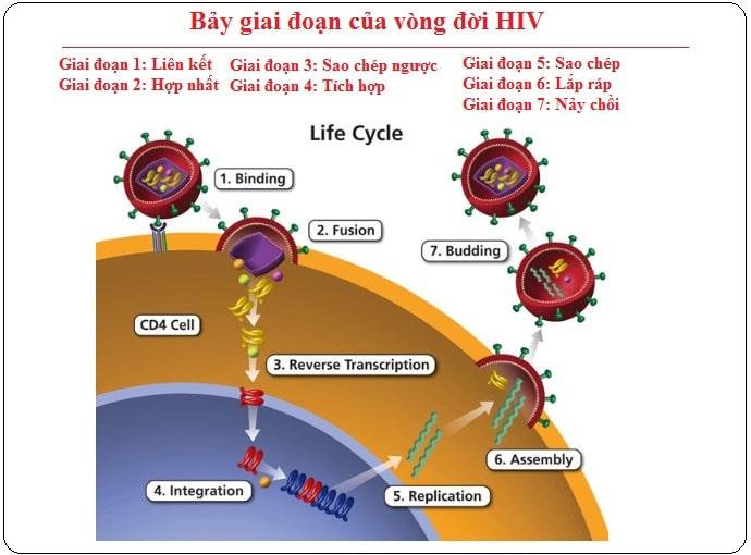 vong doi virus hiv va cac giai doan nhiem hiv